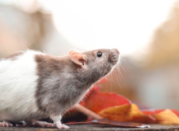 What you need to know about feeding your rat - Yummypets