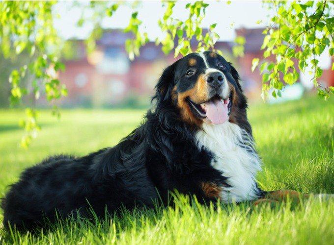 Le Bouvier Bernois est un chien amical et fidèle.