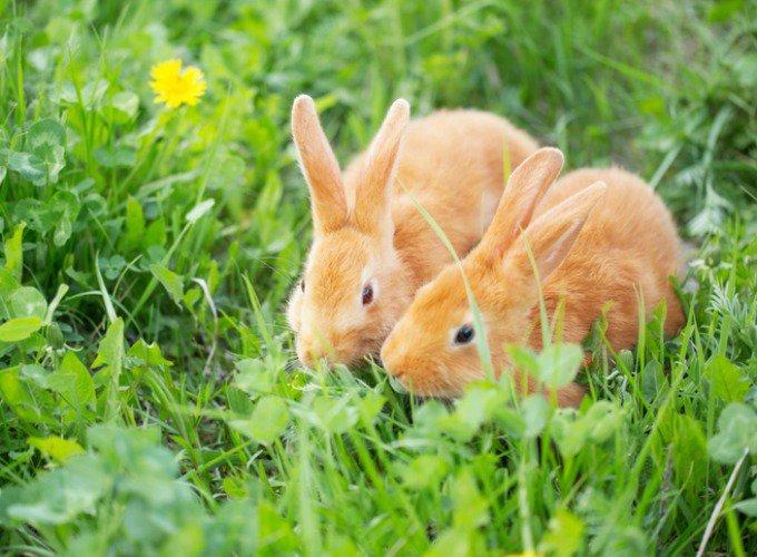deux lapins