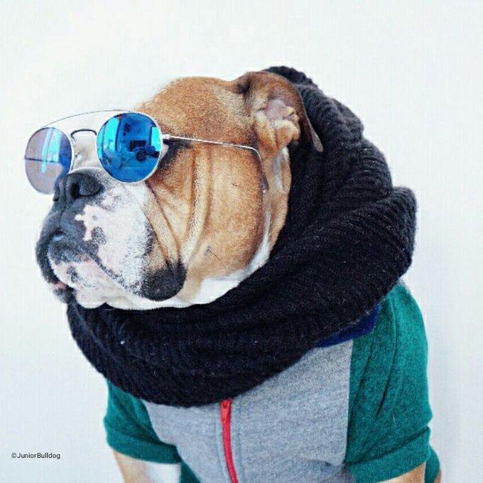 junior the bulldog