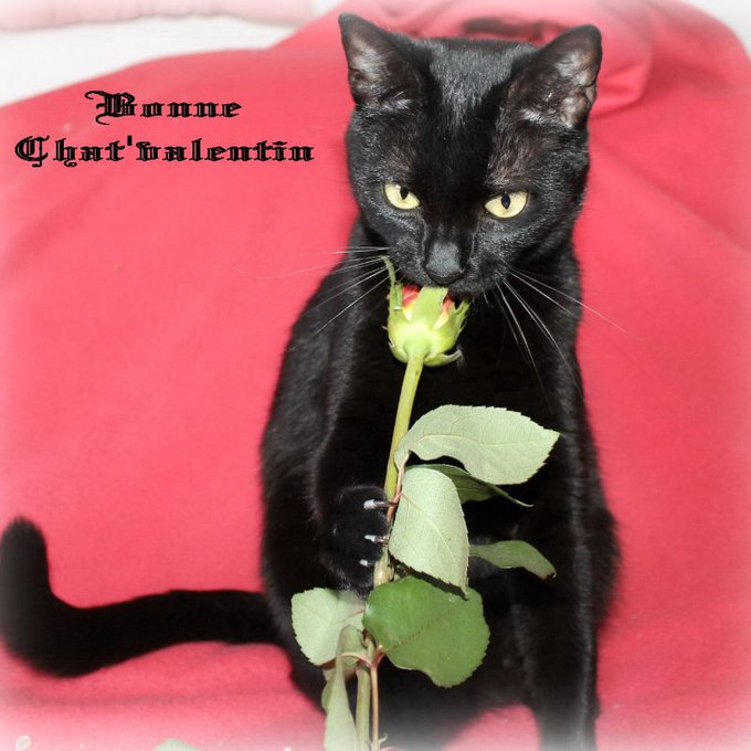 chat noir rose