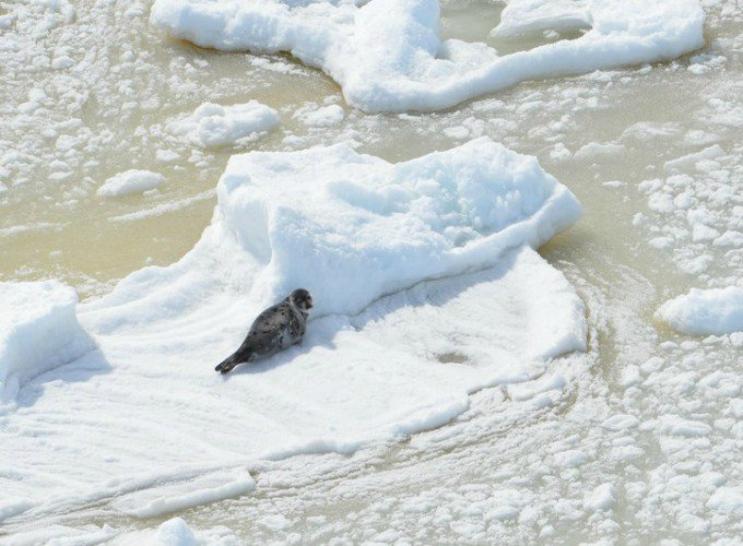 massacre des phoques