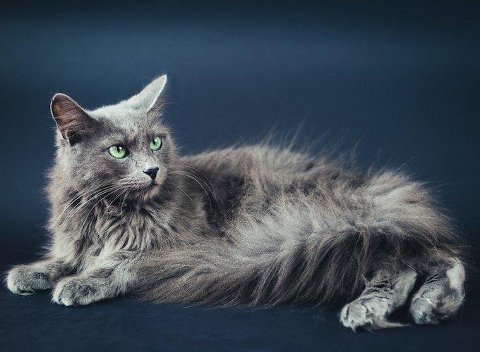 Nebelung grey cat
