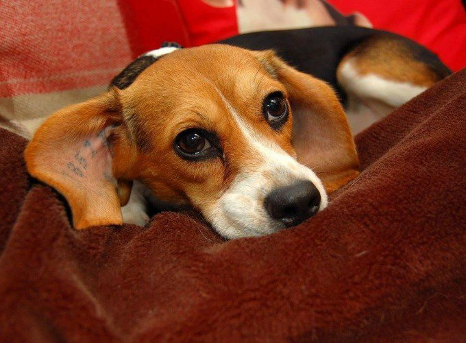 bea le beagle