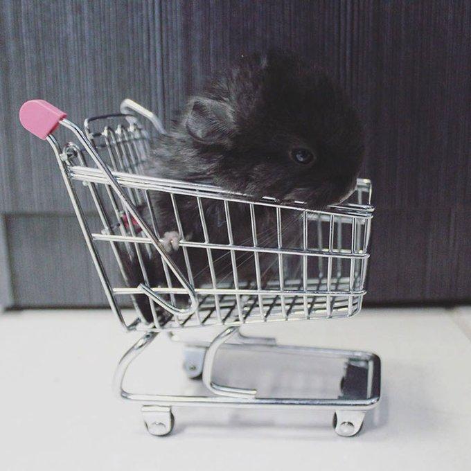 bébé chinchilla