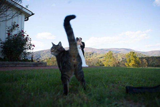 chat tigré mariage photobomb