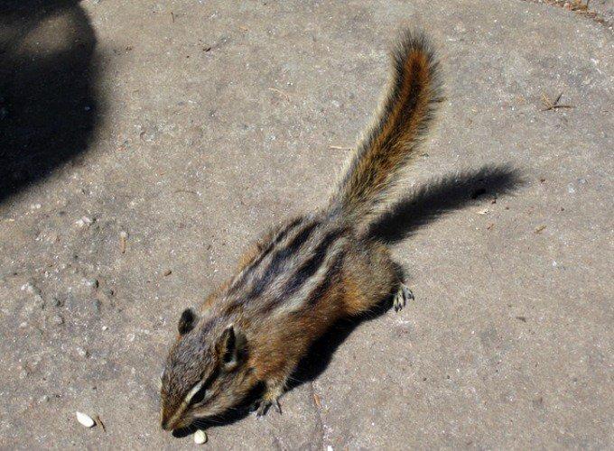 ecureuil tamia