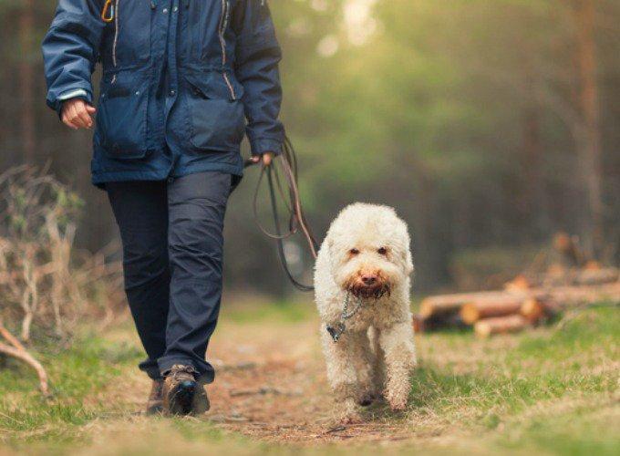 promenade chien âgé
