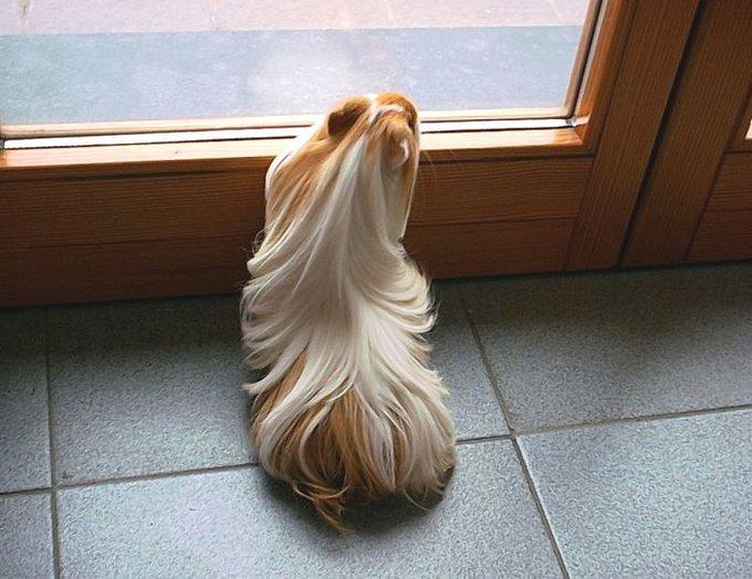 cobaye poils longs