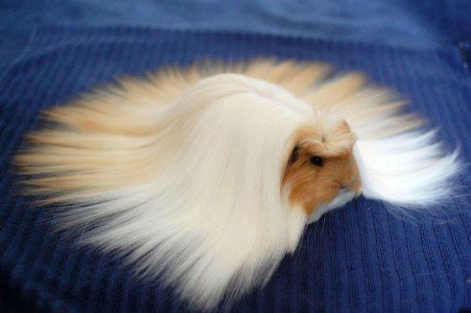 cobaye poils longs lissés