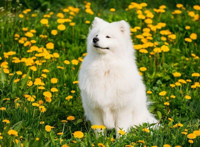 Short-haired white dog breeds
