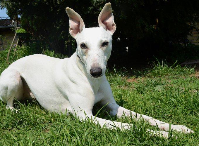 Top 10 White Dog Breeds Yummypets