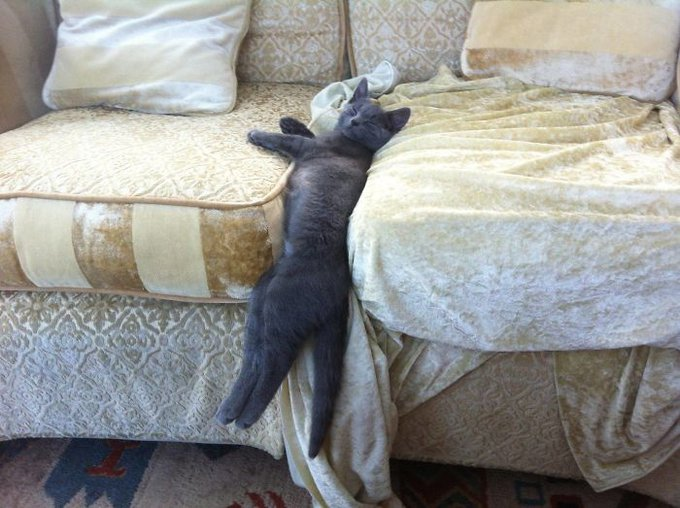 chaton gris dort