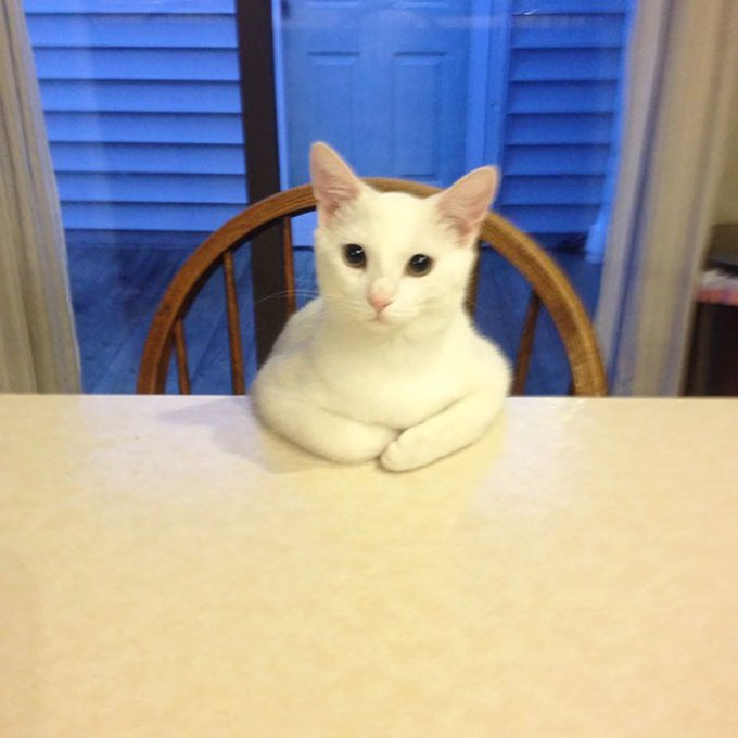 chat blanc table