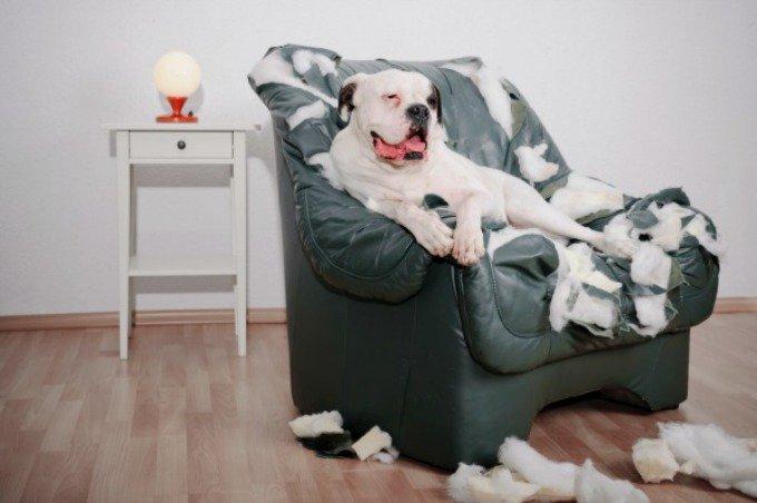 chien canapé dégâts
