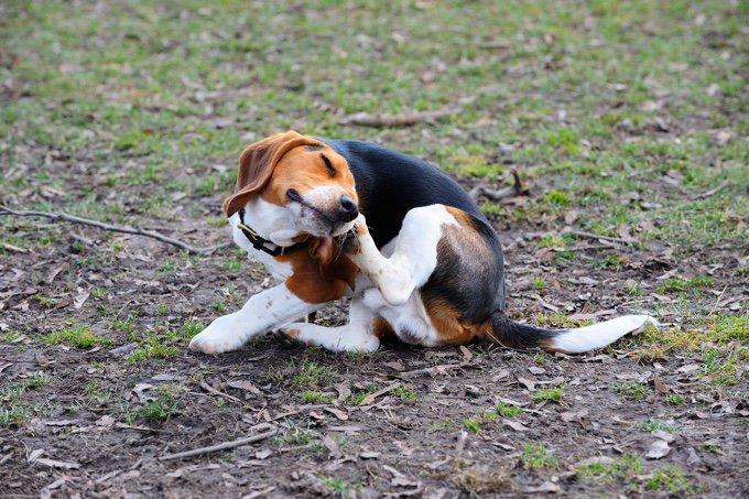 gale sarcoptique du chien