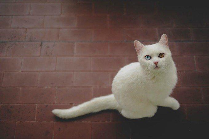 chaton blanc british shorthair yeux vairons
