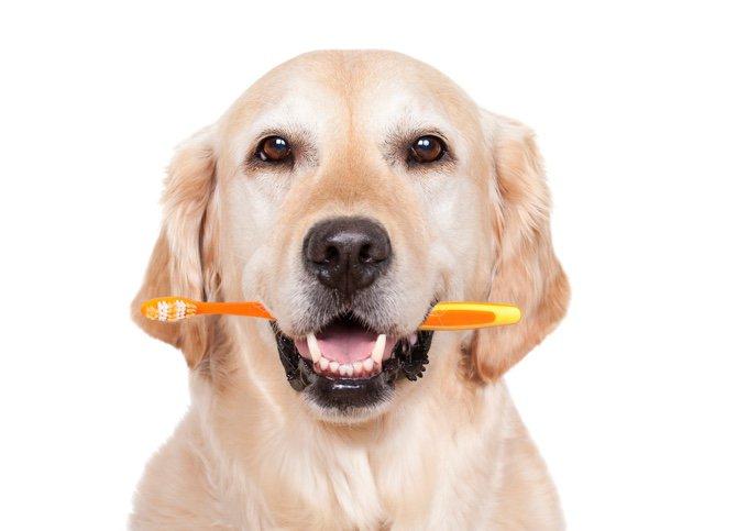 brossage des dents du chien
