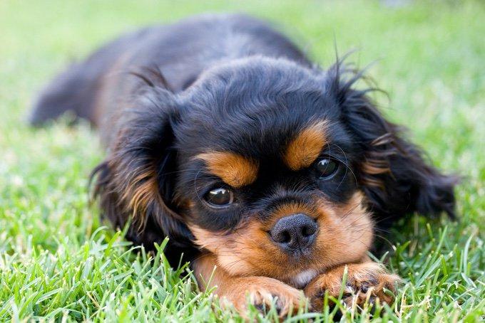 endocardiose mitrale chez le chien