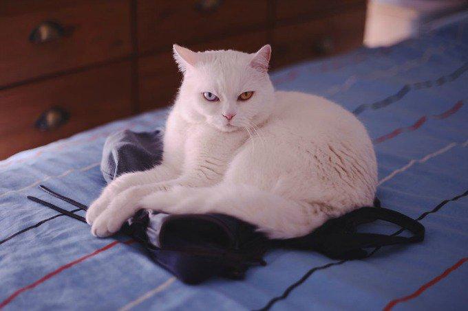 chat blanc yeux vairons british shorthair
