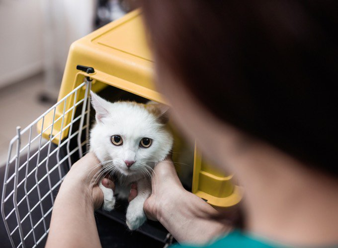chat blanc caisse de transport