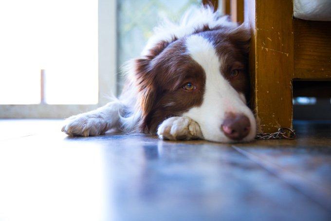 maladies de la prostate chez le chien
