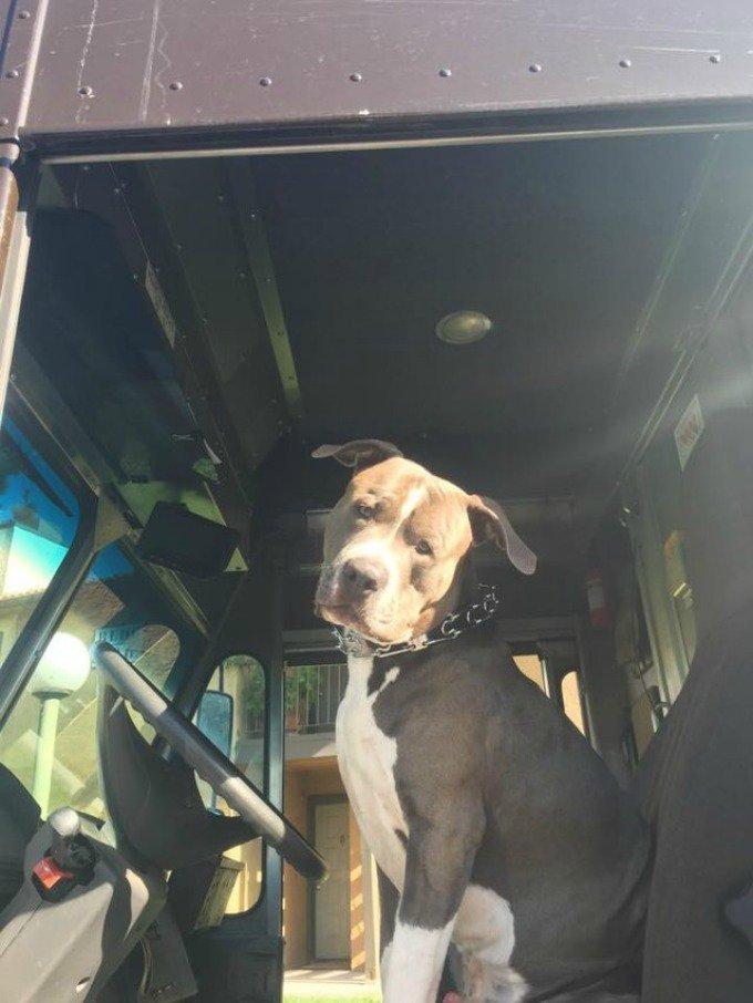 chien pit bull ups