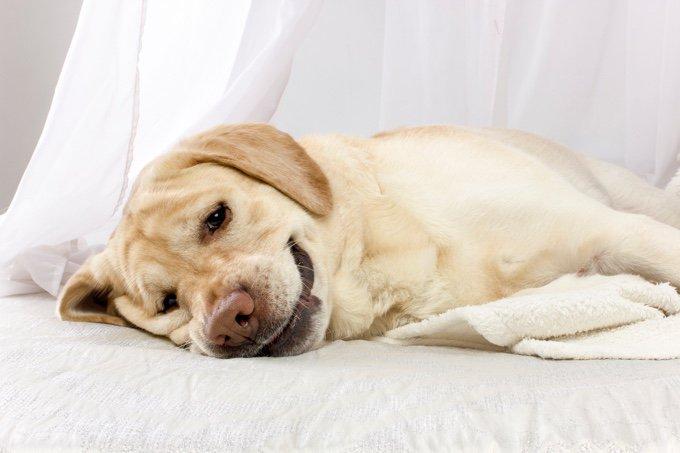 hypothyroïdie chez le chien
