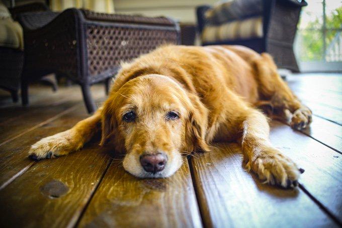 l'arthrose chez le chien