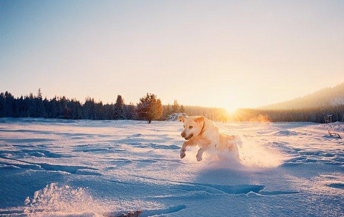 Chien sportif : Labrador Retriever