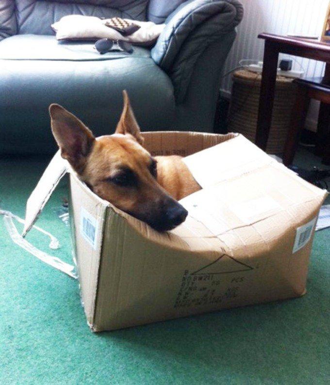 chien carton