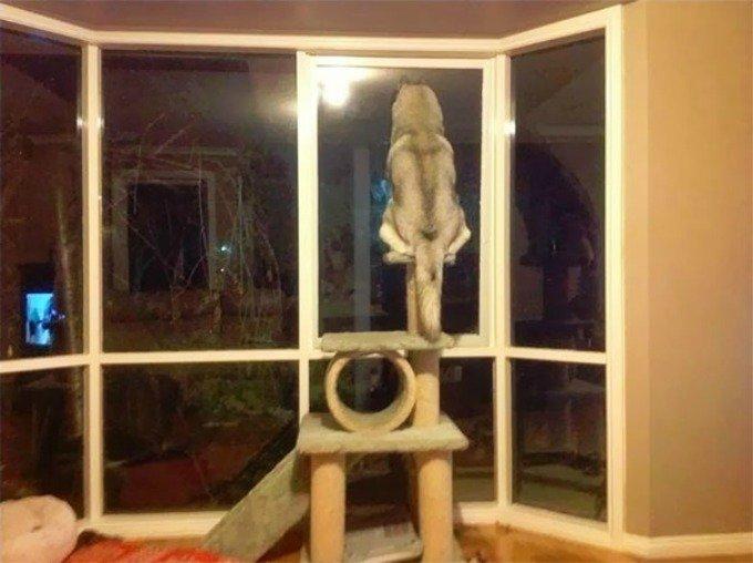 husky arbre à chat