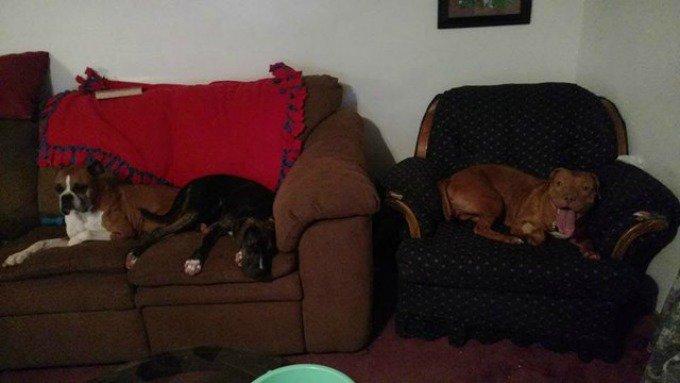 chiens fauteuils