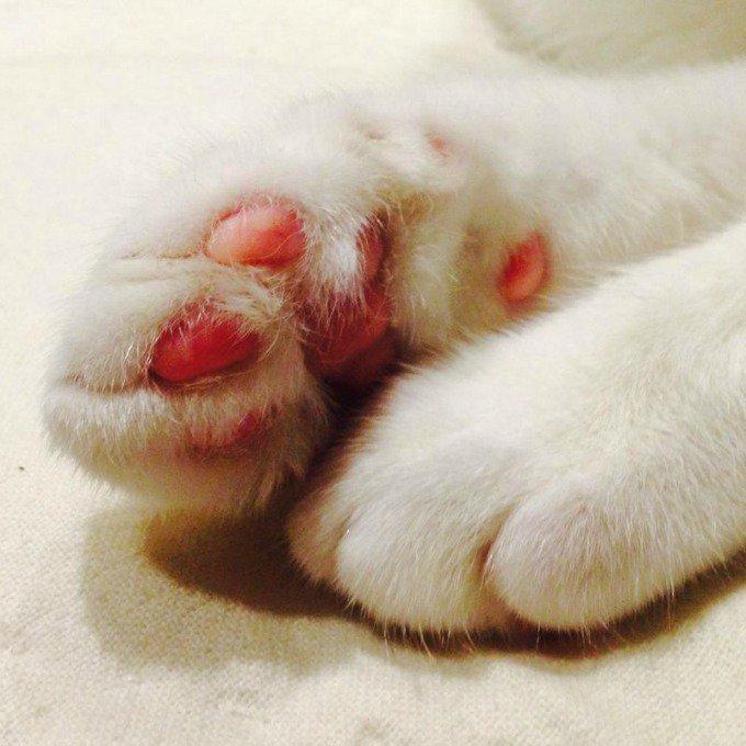 pattes chat blanc