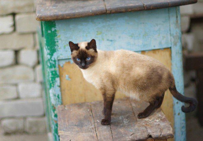races de chats très bavardes siamois