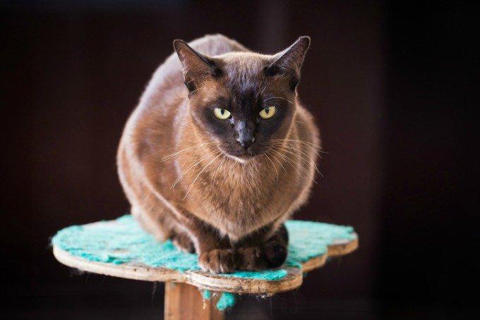 races de chats bavardes burmese