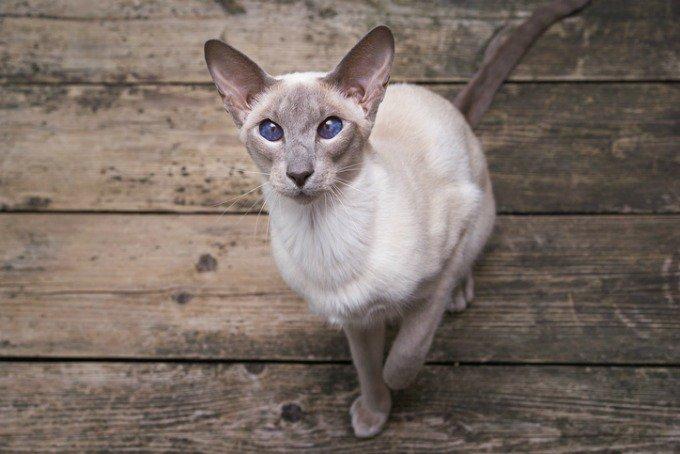 races de chats bavardes oriental