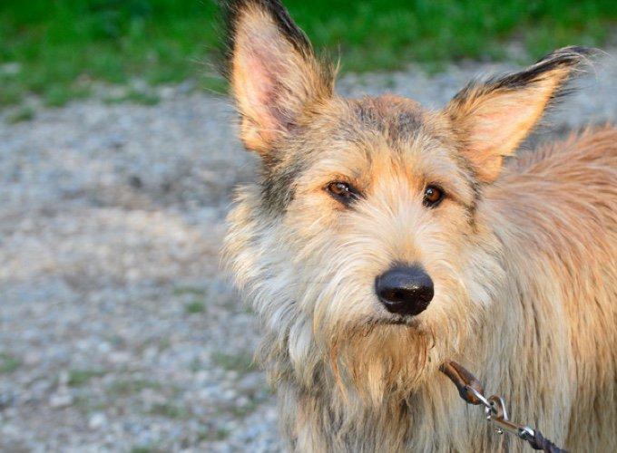 races de chien françaises : berger de picardie