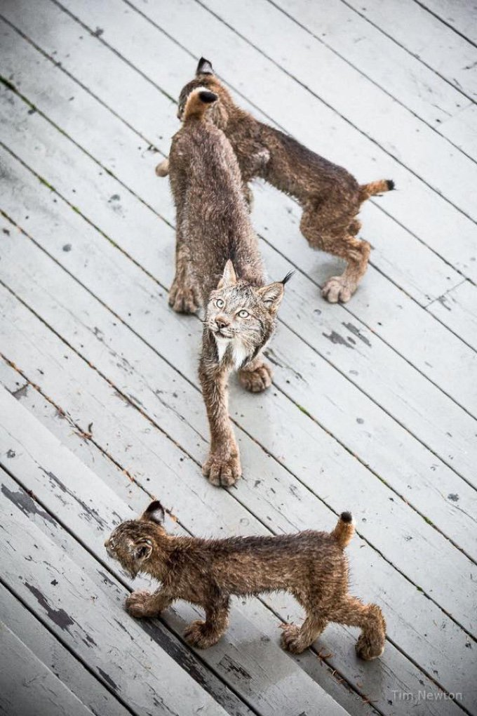 famille lynx