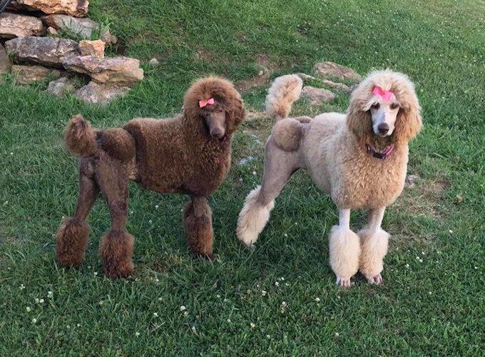 poodles-kim-breeden