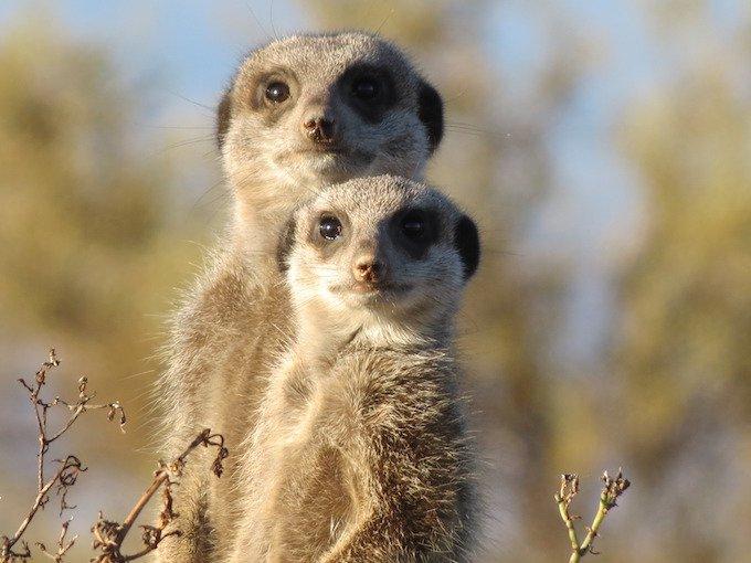 meerkat-group