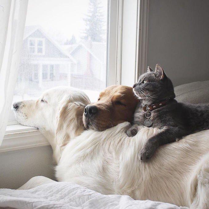 Deux golden retrievers font la sieste avec un chat.
