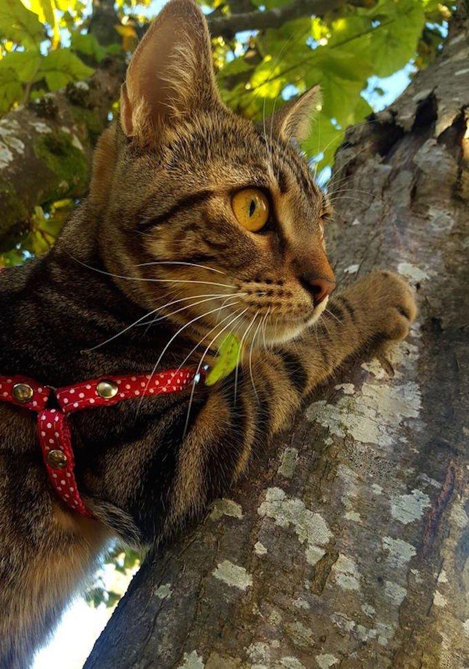 chat tigré arbre griffe