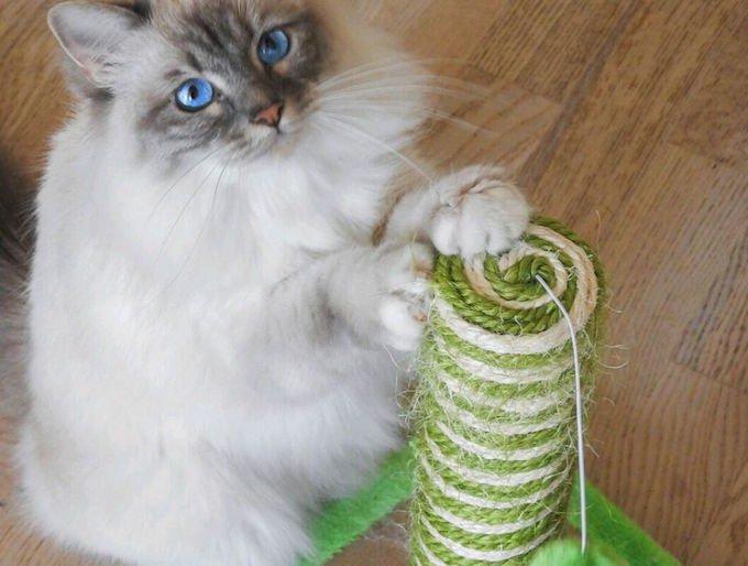 chat sacré de birmanie griffoir