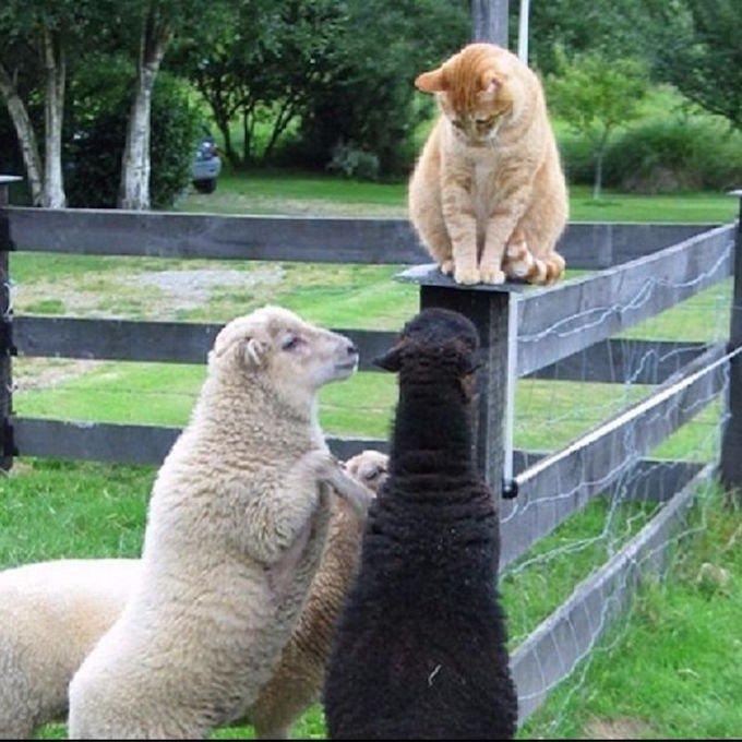 chat roux surveille moutons