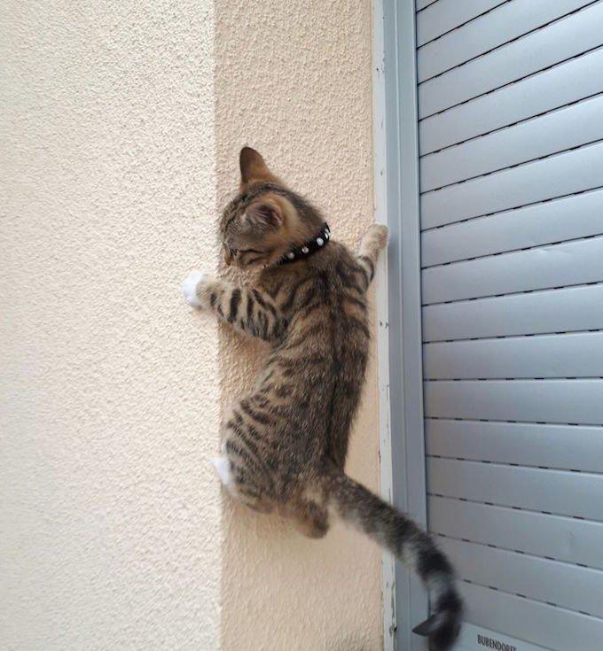 chat grimpe à un mur
