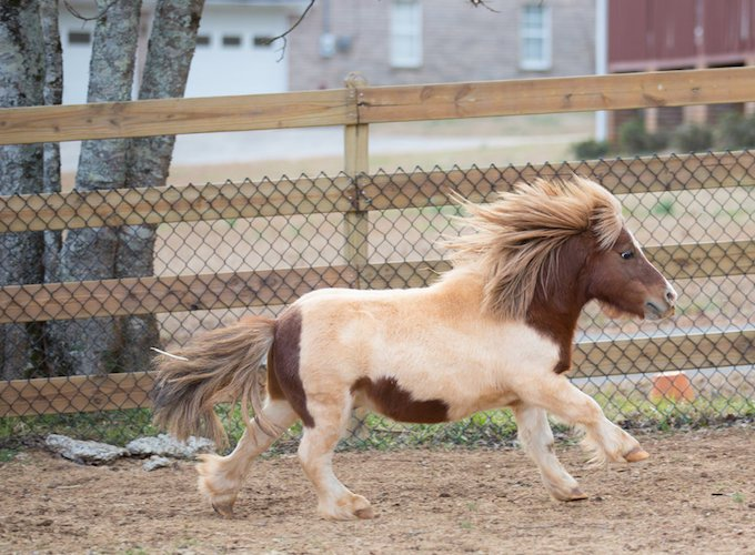 Neighbourly Love Miniature Horse Goes Door Knocking For New Home