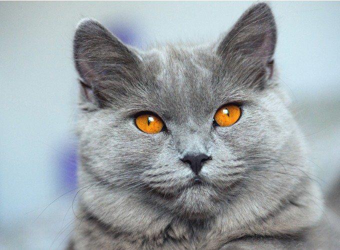 race de chats populaires