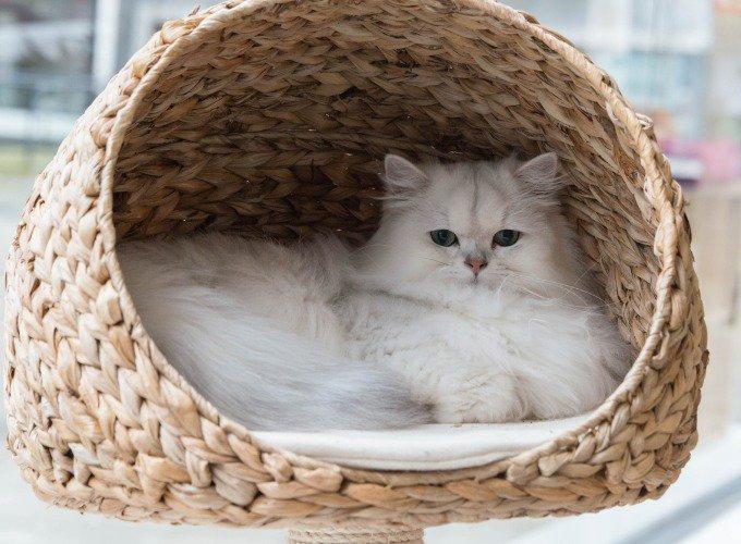 races de chats populaires