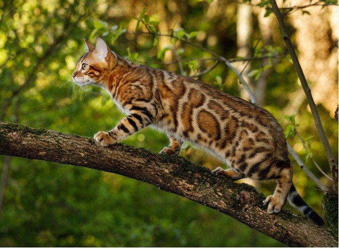 Le chat Bengal ressemble à un léopard miniature.
